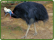 southern-cassowary_img01